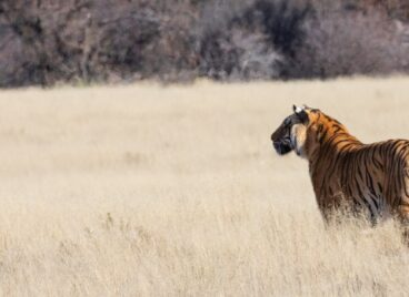 Tiger staring into the distance in the long grass at Tiger Canyon Private Game Reserve