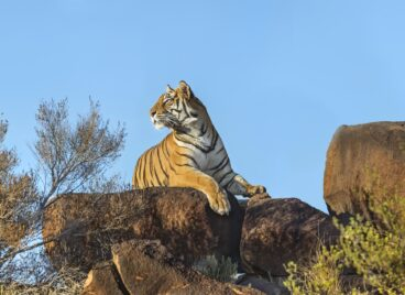 Tiger laying on a rock at Tiger Canyon Private Game Reserve