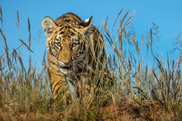 Tiger walking towards the camera at Tiger Canyon Private Game Reserve