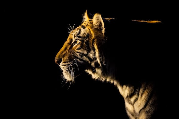 Tiger staring into the light against a dark background