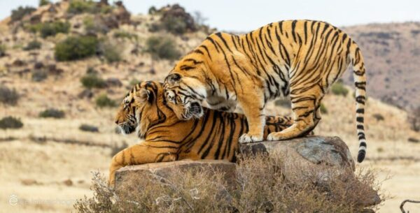 Two tigers nuzzle on a rock at Tiger Canyon Private Game Reserve