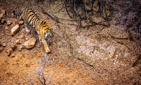 Overview of tiger walking across a dry river bed at Tiger Canyon Private Game Reserve
