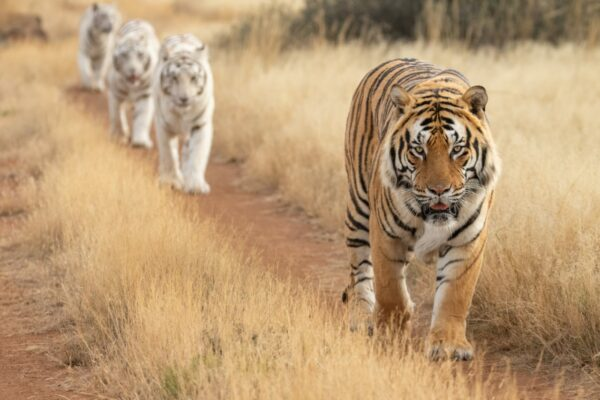 Four tigers walking on a path at Tiger Canyon Private Game Reserve