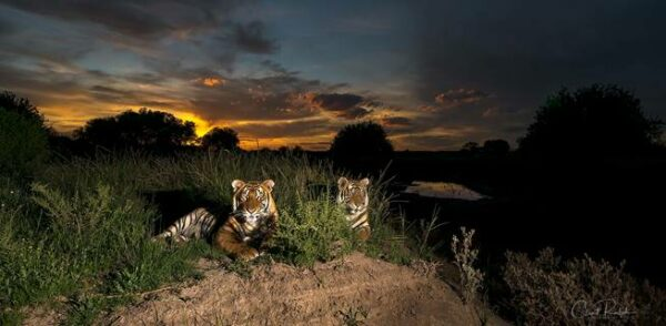 Two tigers lying in the grass against a dark Karoo sunset at Tiger Canyon Private Game Reserve