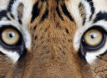 Close up of the eyes of a tiger at Tiger Canyon Private Game Reserve